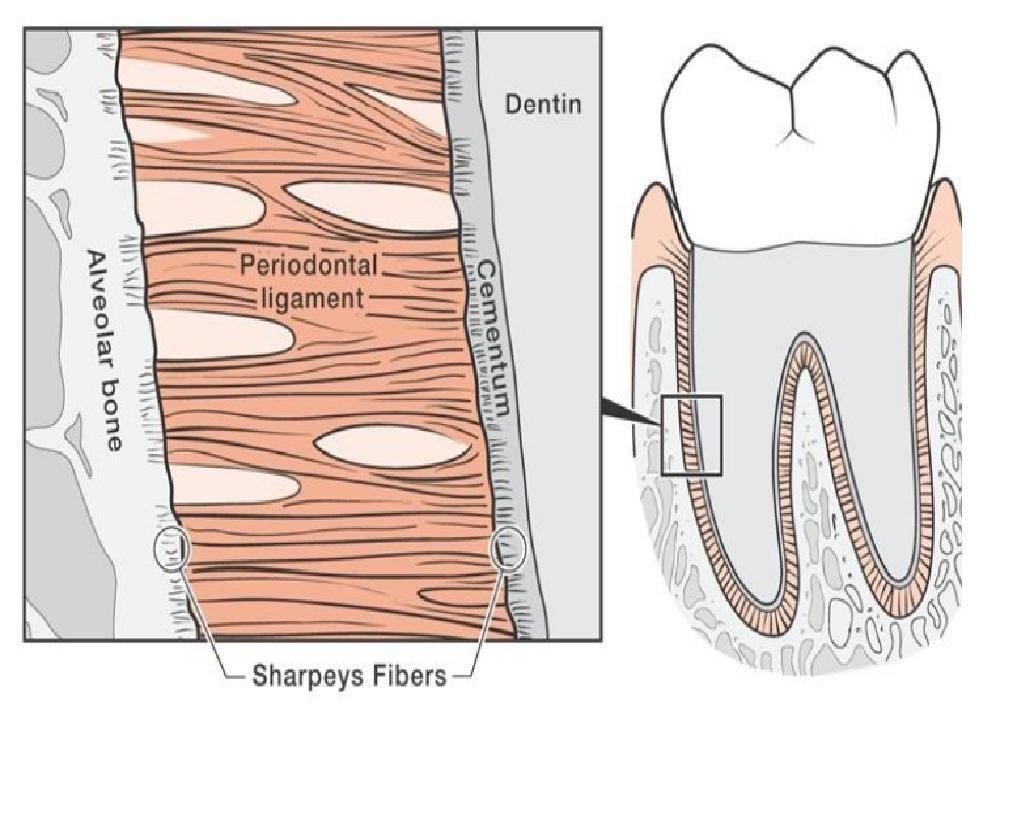 شکل- کادر مستطیلی تصویر سمت راست، در تصویر سمت چپ به صورت بزرگنمایی شده نشان داده شده است. در تصویر سمت چپ استخوان آلوئولار (فک) در سمت چپ و ریشه دندان در سمت راست قرار دارد که این دو توسط بافتهای رشته ای رباط پریودنتال به یکدیگر متصل شده اند.