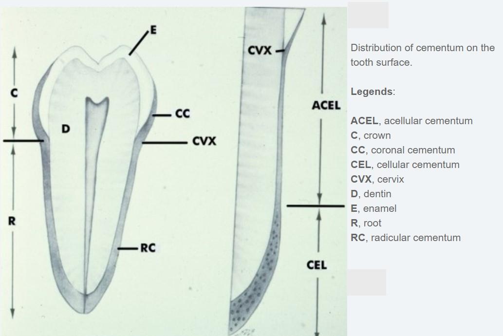 سمنتوم دندان چیست؟